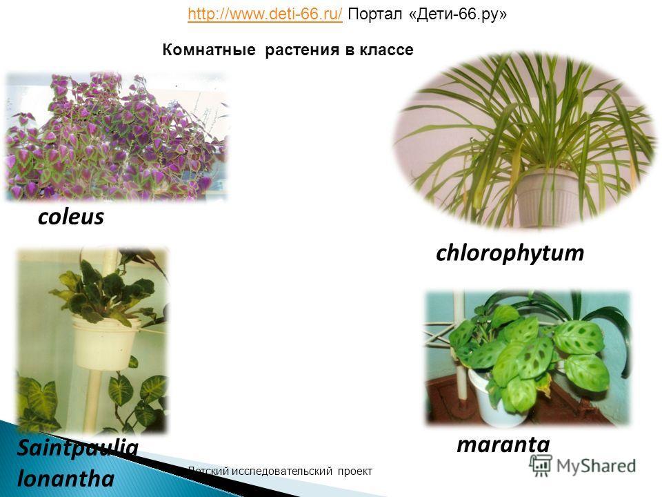 coleus chlorophytum Saintpaulia lonantha maranta Комнатные растения в классе Детский исследовательский проект http://www.deti-66.ru/http://www.deti-66.ru/ Портал «Дети-66.ру»
