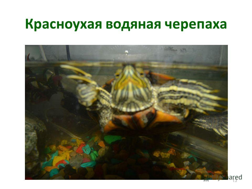 Черепахи Черепахи лучше всего чувствуют себя при температуре +18 +20°. При более низкой температуре черепахи малоподвижны. Кормить их можно земляными червями, сырым мясом, рыбой, живыми головастиками. Размножаются черепахи в неволе редко. Панцирь кам