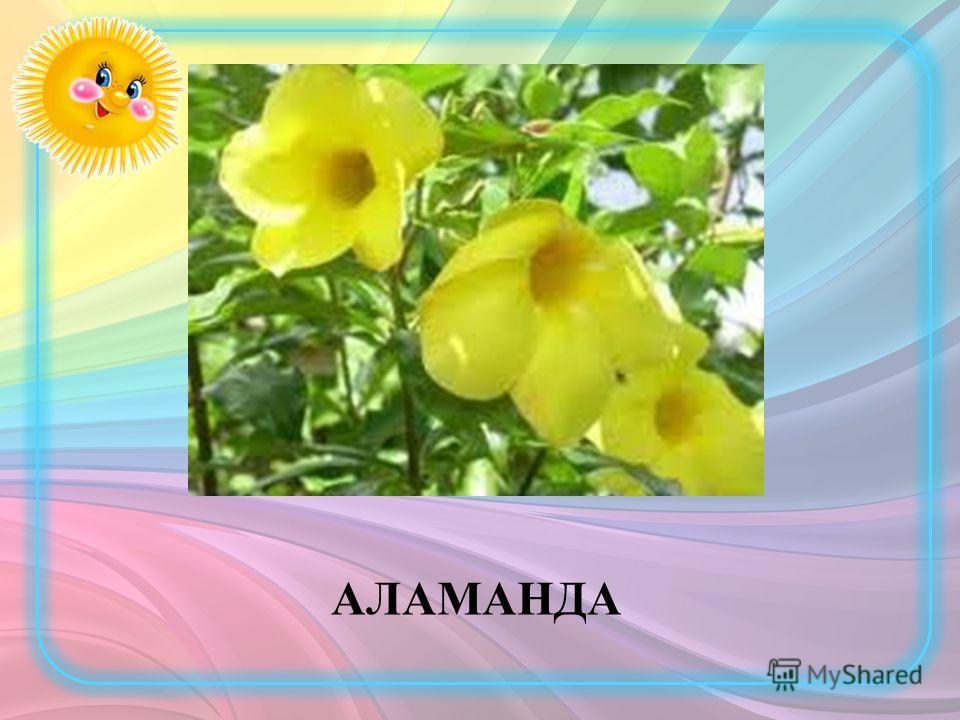 АЛАМАНДА