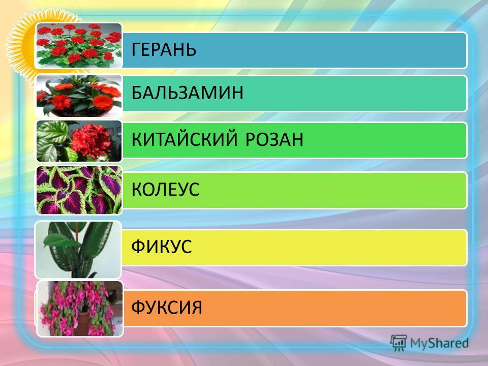ГЕРАНЬ БАЛЬЗАМИН КИТАЙСКИЙ РОЗАН КОЛЕУС ФИКУС ФУКСИЯ