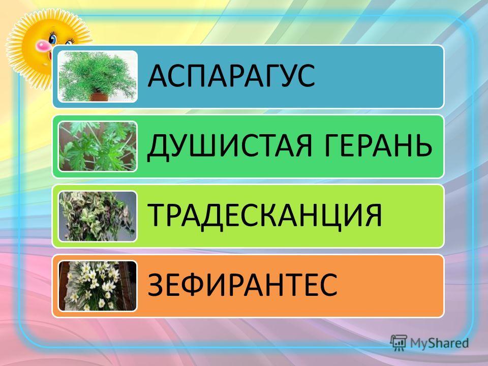АСПАРАГУС ДУШИСТАЯ ГЕРАНЬ ТРАДЕСКАНЦИЯ ЗЕФИРАНТЕС