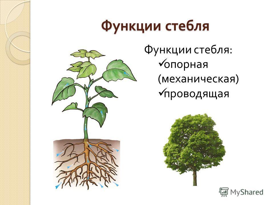 Функции стебля Функции стебля : опорная ( механическая ) проводящая