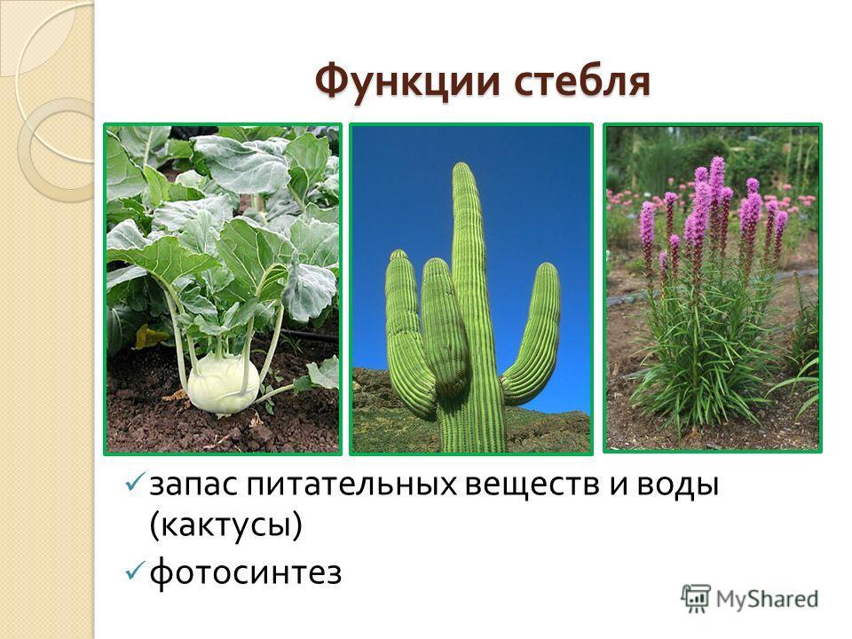 Функции стебля запас питательных веществ и воды ( кактусы ) фотосинтез