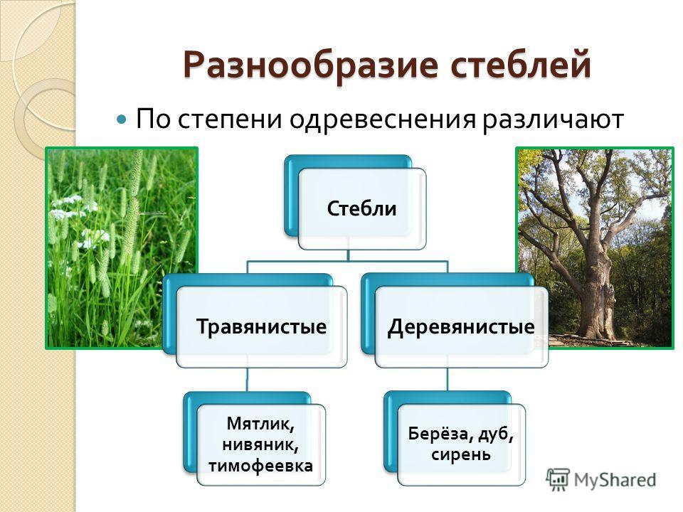 Разнообразие стеблей По степени одревеснения различают Стебли Травянистые Мятлик, нивяник, тимофеевка Деревянистые Берёза, дуб, сирень