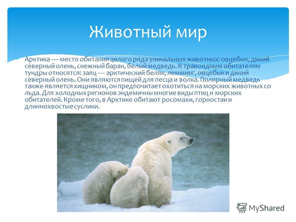 Арктика место обитания целого ряда уникальных животных: овцебык, дикий северный олень, снежный баран, белый медведь. К травоядным обитателям тундры относятся: заяц арктический беляк, лемминг, овцебык и дикий северный олень. Они являются пищей для пес