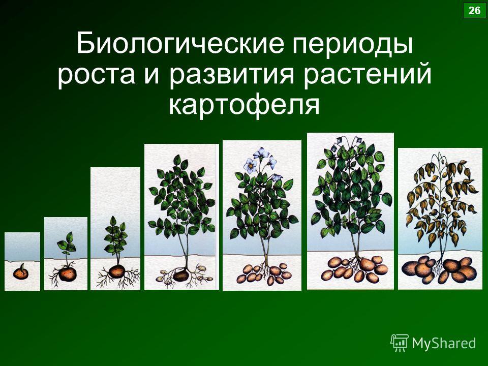 Биологические периоды роста и развития растений картофеля 26