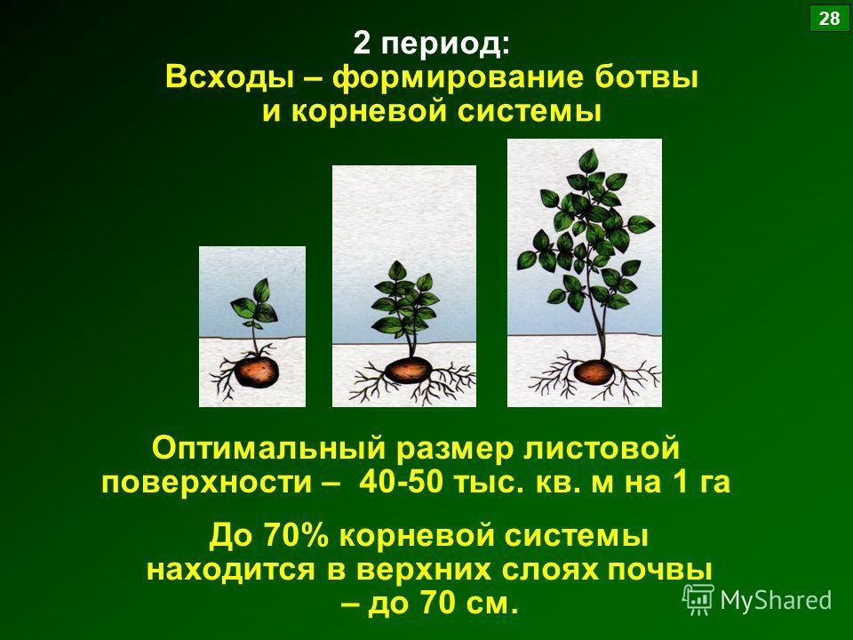 2 период: Всходы – формирование ботвы и корневой системы Оптимальный размер листовой поверхности – 40-50 тыс. кв. м на 1 га До 70% корневой системы находится в верхних слоях почвы – до 70 см. 28