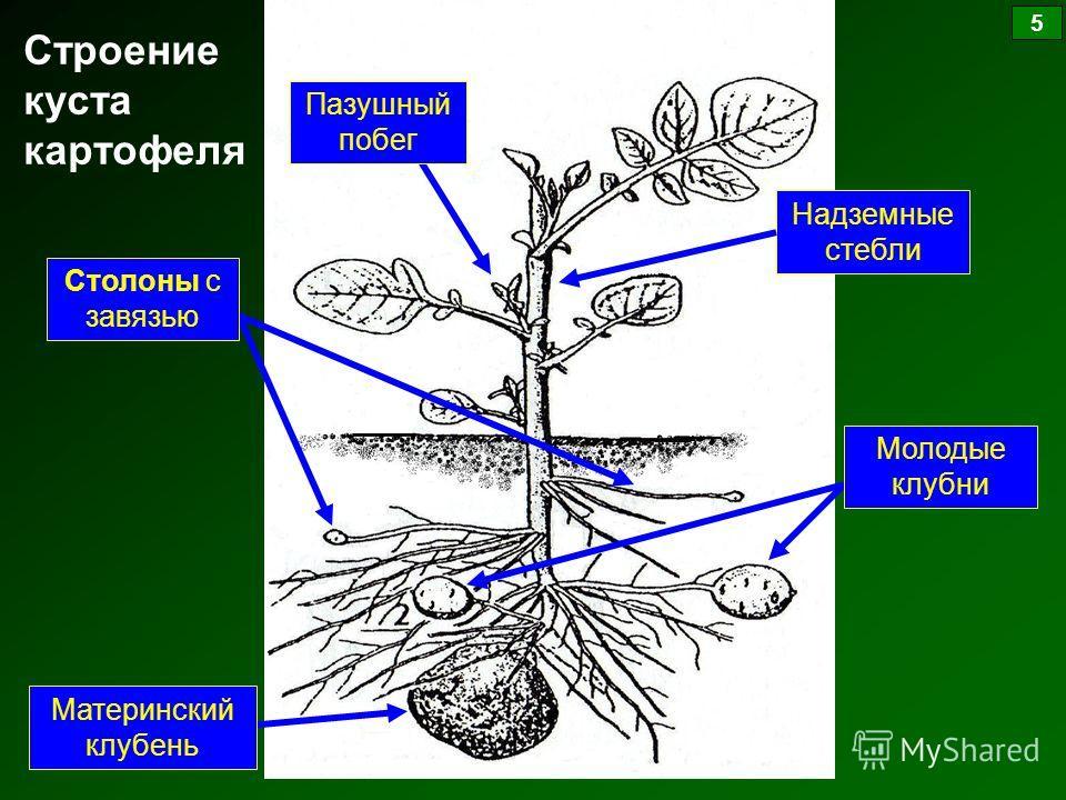 Строение куста картофеля Столоны с завязью Пазушный побег Молодые клубни Материнский клубень Надземные стебли 5