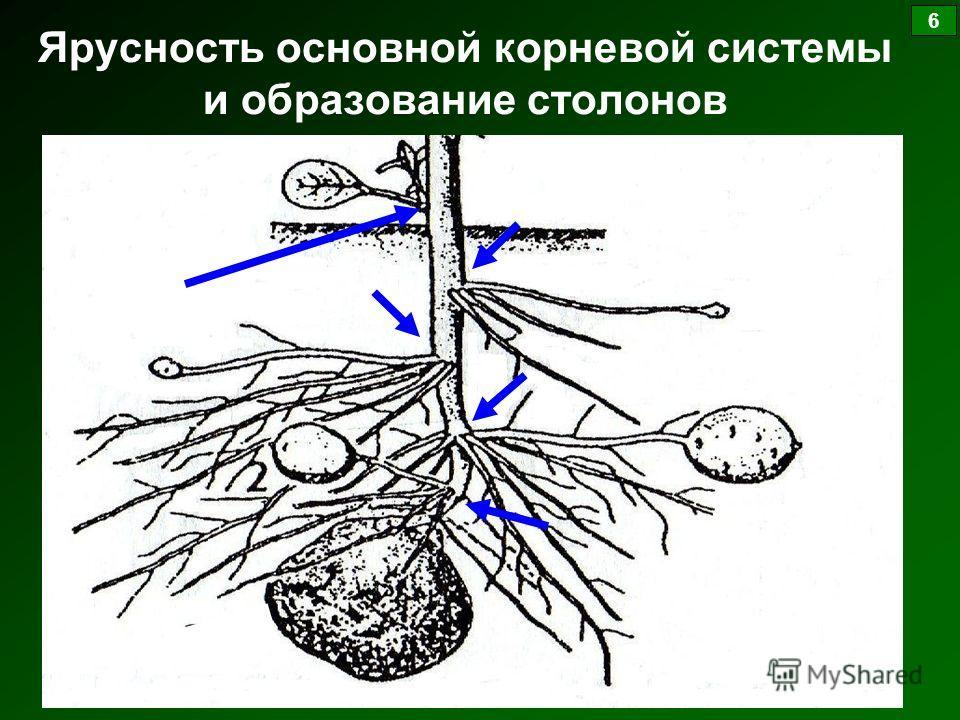 Ярусность основной корневой системы и образование столонов 6