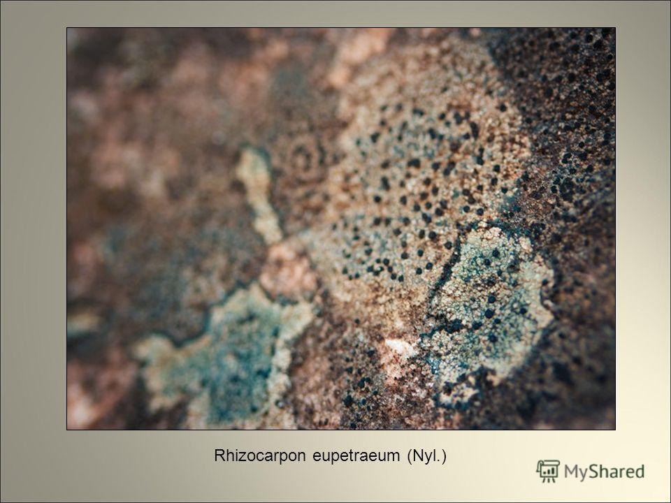 Rhizocarpon eupetraeum (Nyl.)