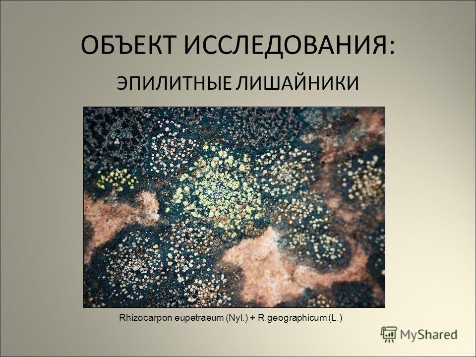 ОБЪЕКТ ИССЛЕДОВАНИЯ: ЭПИЛИТНЫЕ ЛИШАЙНИКИ Rhizocarpon eupetraeum (Nyl.) + R.geographicum (L.)