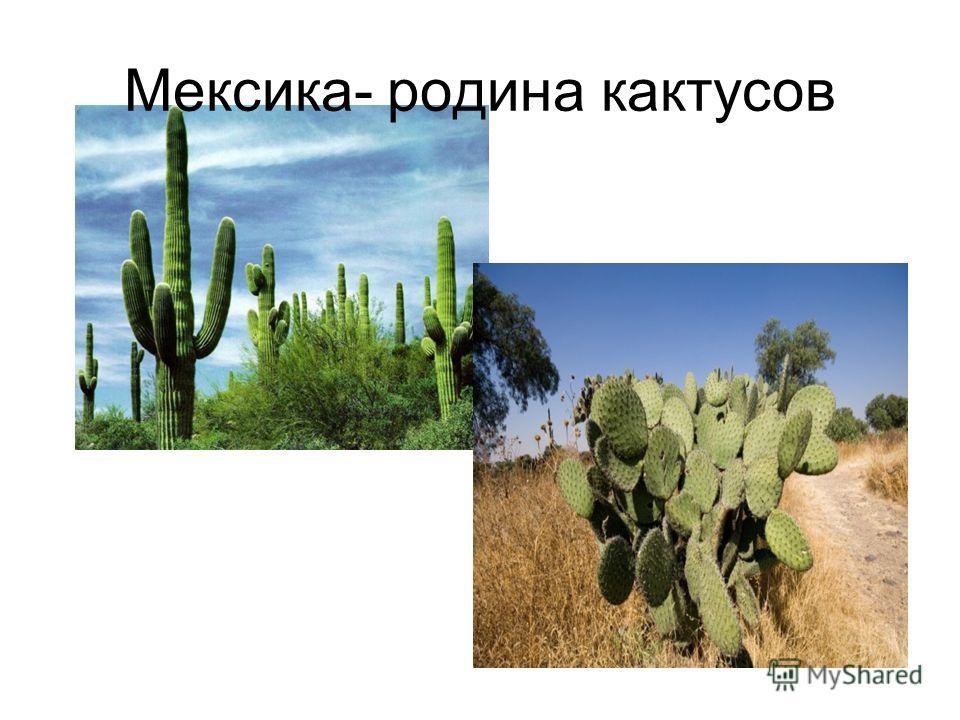 Мексика- родина кактусов