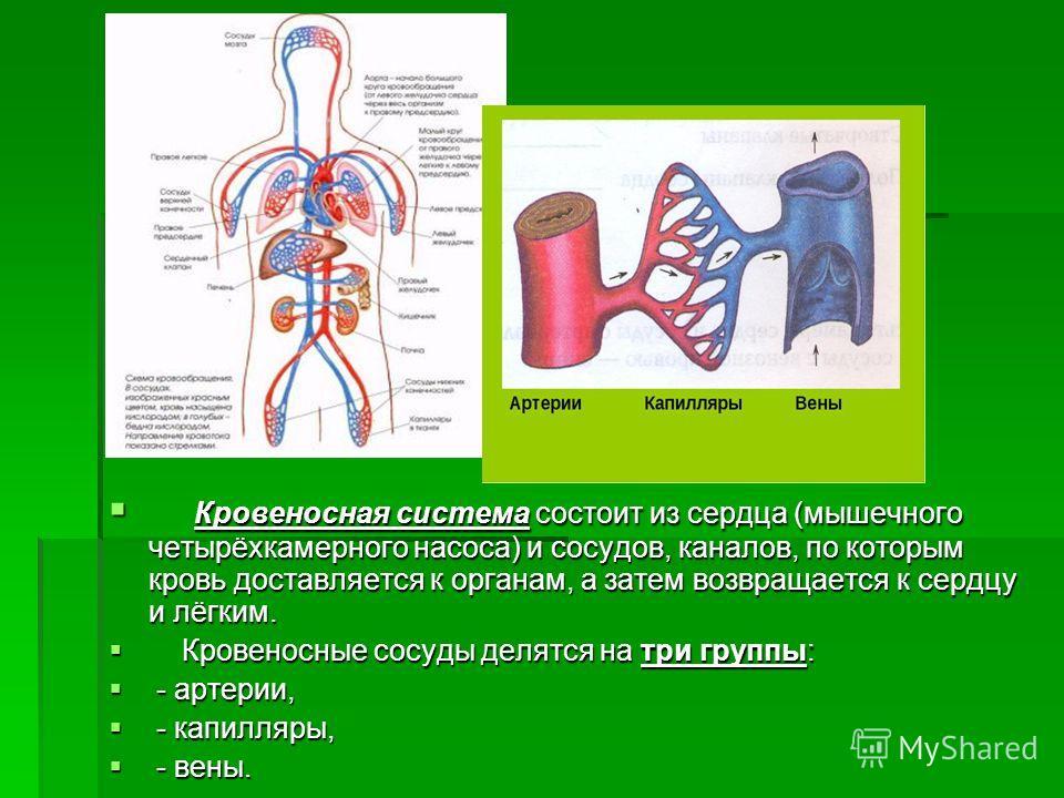 Кровеносная система состоит из сердца (мышечного четырёхкамерного насоса) и сосудов, каналов, по которым кровь доставляется к органам, а затем возвращается к сердцу и лёгким. Кровеносная система состоит из сердца (мышечного четырёхкамерного насоса) и