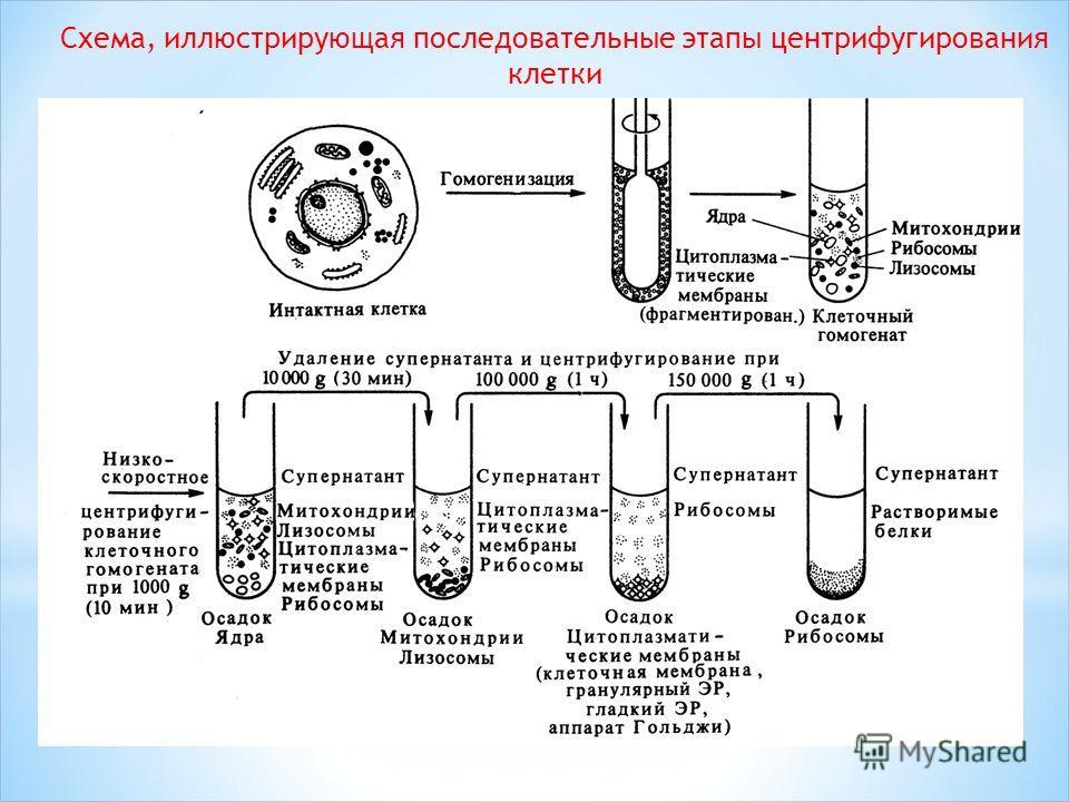 Схема, иллюстрирующая последовательные этапы центрифугирования клетки