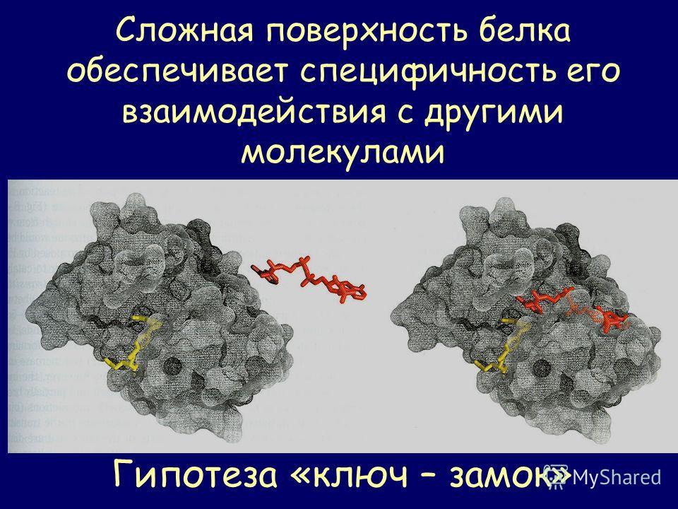 Сложная поверхность белка обеспечивает специфичность его взаимодействия с другими молекулами Гипотеза «ключ – замок»