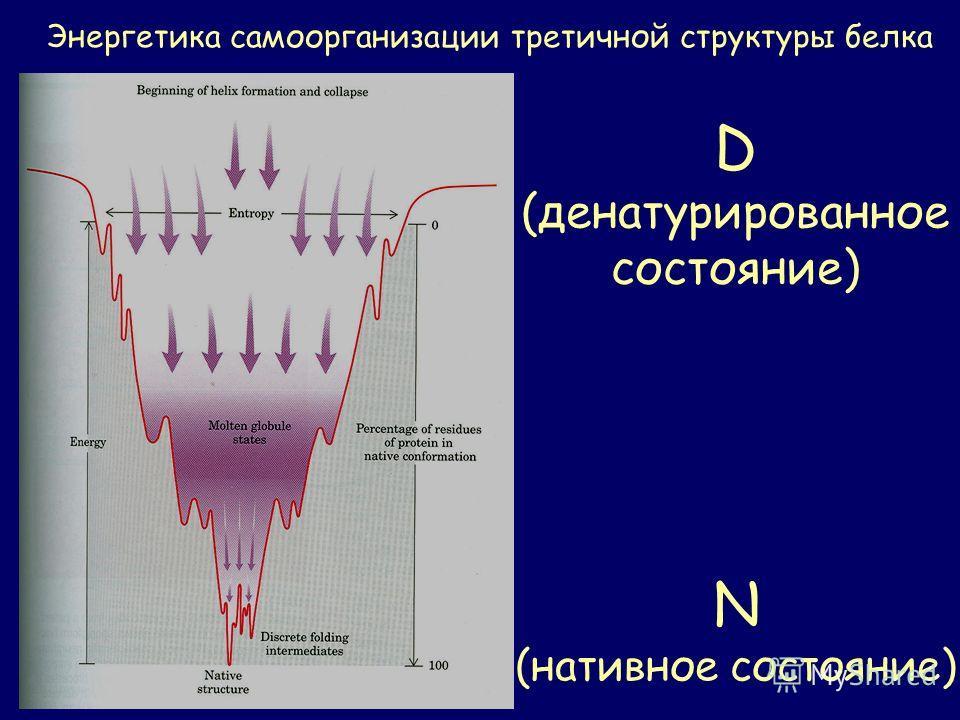 Энергетика самоорганизации третичной структуры белка D (денатурированное состояние) N (нативное состояние)