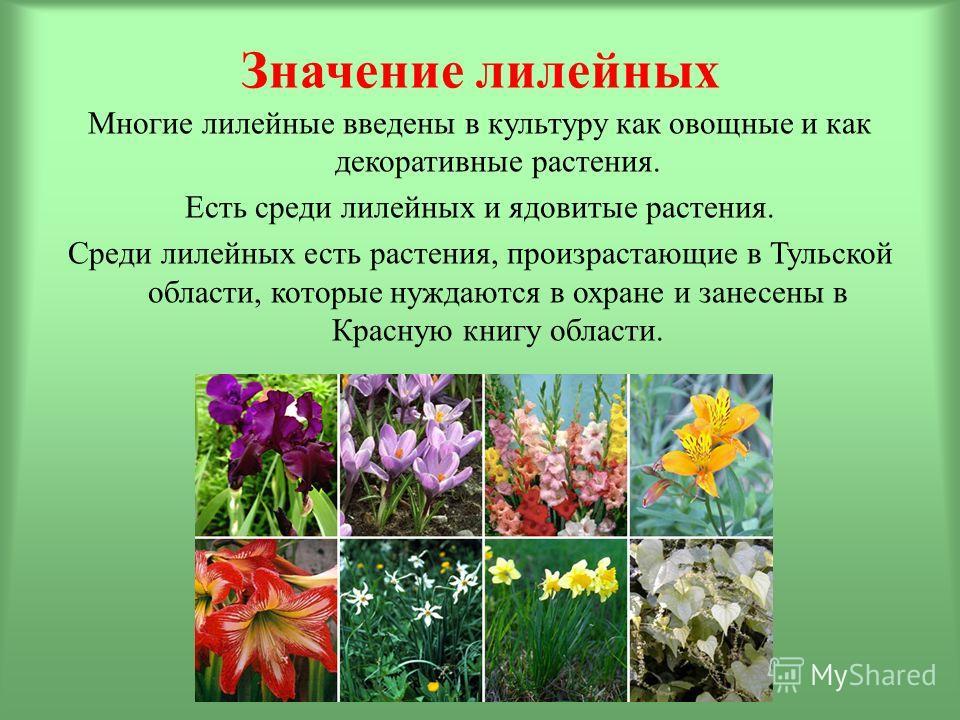 Значение лилейных Многие лилейные введены в культуру как овощные и как декоративные растения. Есть среди лилейных и ядовитые растения. Среди лилейных есть растения, произрастающие в Тульской области, которые нуждаются в охране и занесены в Красную кн