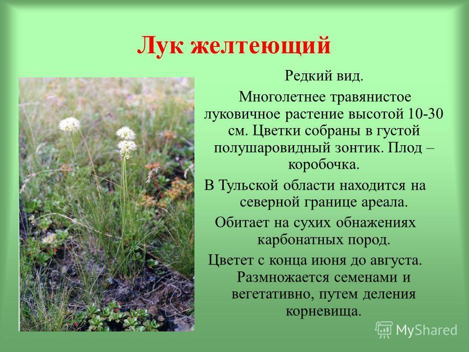 Лук желтеющий Редкий вид. Многолетнее травянистое луковичное растение высотой 10-30 см. Цветки собраны в густой полушаровидный зонтик. Плод – коробочка. В Тульской области находится на северной границе ареала. Обитает на сухих обнажениях карбонатных