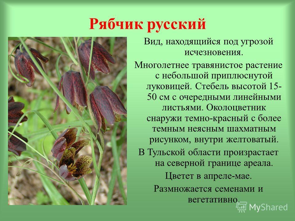 Рябчик русский Вид, находящийся под угрозой исчезновения. Многолетнее травянистое растение с небольшой приплюснутой луковицей. Стебель высотой 15- 50 см с очередными линейными листьями. Околоцветник снаружи темно-красный с более темным неясным шахмат