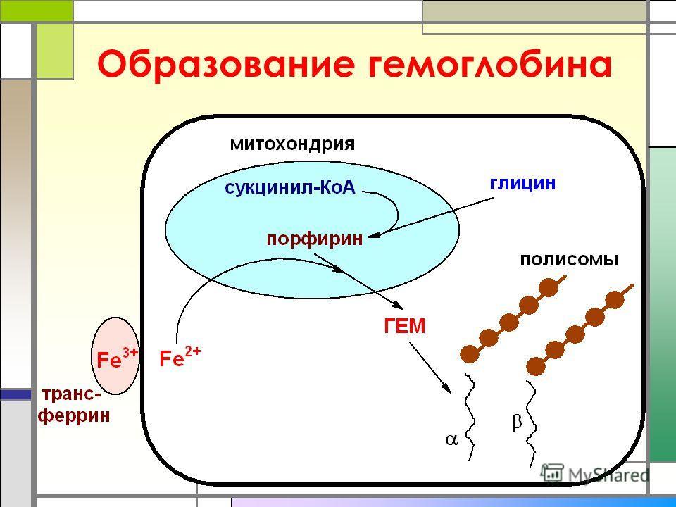 Образование гемоглобина