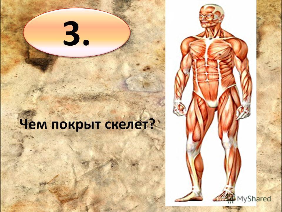 3. Чем покрыт скелет?