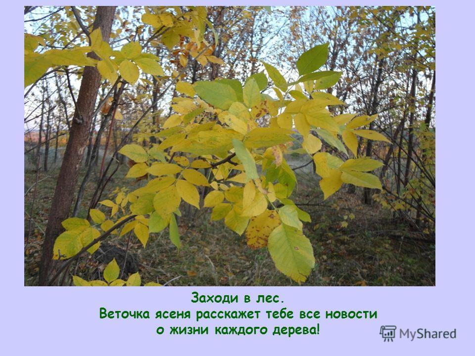 Заходи в лес Заходи в лес. Веточка ясеня расскажет тебе все новости о жизни каждого дерева!