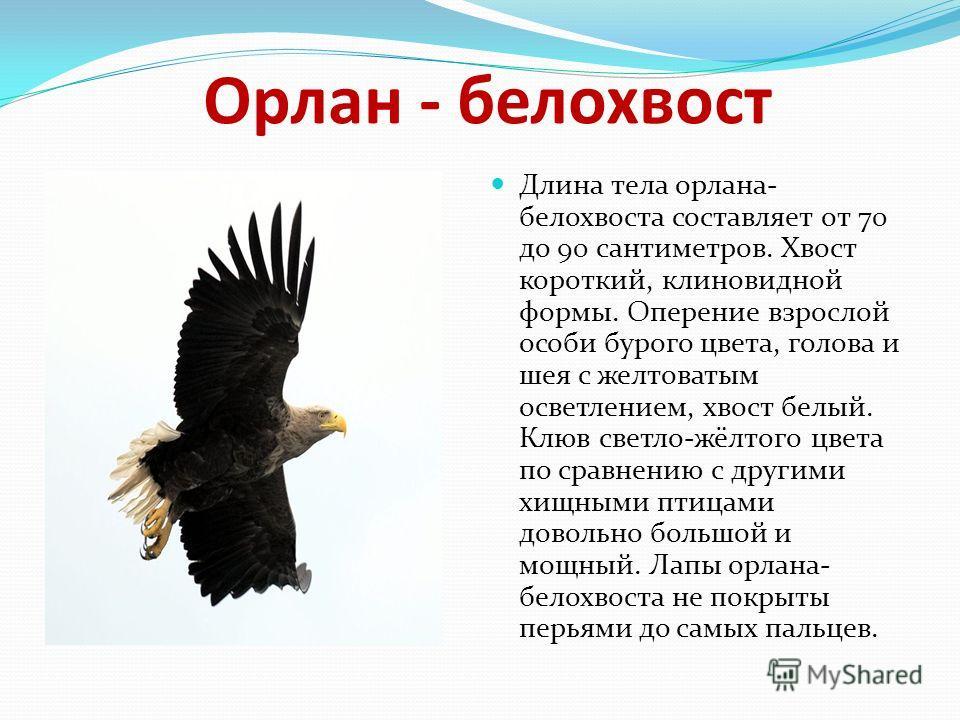 Орлан - белохвост Длина тела орлана- белохвоста составляет от 70 до 90 сантиметров. Хвост короткий, клиновидной формы. Оперение взрослой особи бурого цвета, голова и шея с желтоватым осветлением, хвост белый. Клюв светло-жёлтого цвета по сравнению с