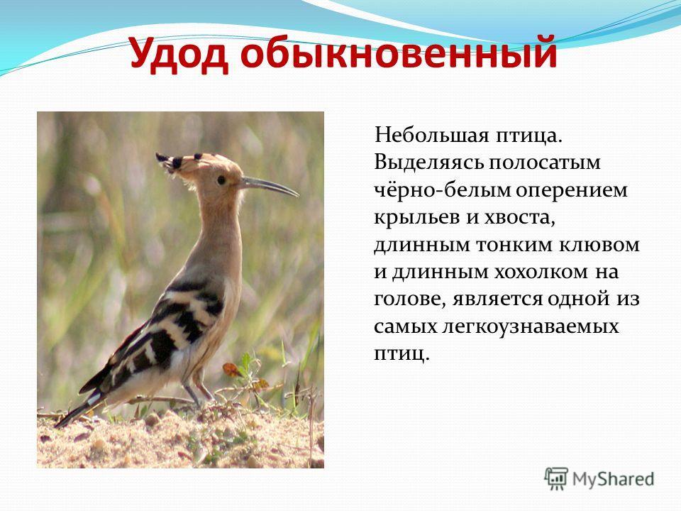 Удод обыкновенный Небольшая птица. Выделяясь полосатым чёрно-белым оперением крыльев и хвоста, длинным тонким клювом и длинным хохолком на голове, является одной из самых легкоузнаваемых птиц.