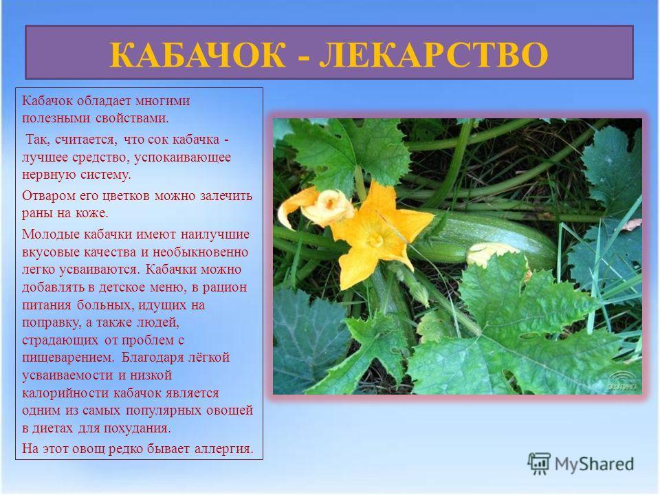 КАБАЧОК - ЛЕКАРСТВО Кабачок обладает многими полезными свойствами. Так, считается, что сок кабачка - лучшее средство, успокаивающее нервную систему. Отваром его цветков можно залечить раны на коже. Молодые кабачки имеют наилучшие вкусовые качества и