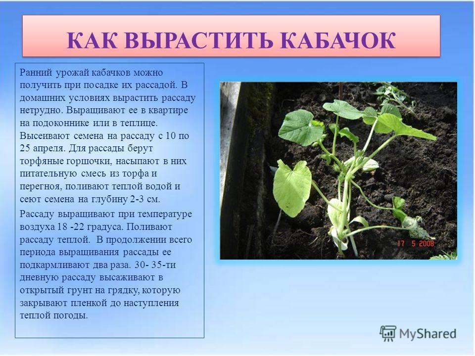КАК ВЫРАСТИТЬ КАБАЧОК Ранний урожай кабачков можно получить при посадке их рассадой. В домашних условиях вырастить рассаду нетрудно. Выращивают ее в квартире на подоконнике или в теплице. Высеивают семена на рассаду с 10 по 25 апреля. Для рассады бер
