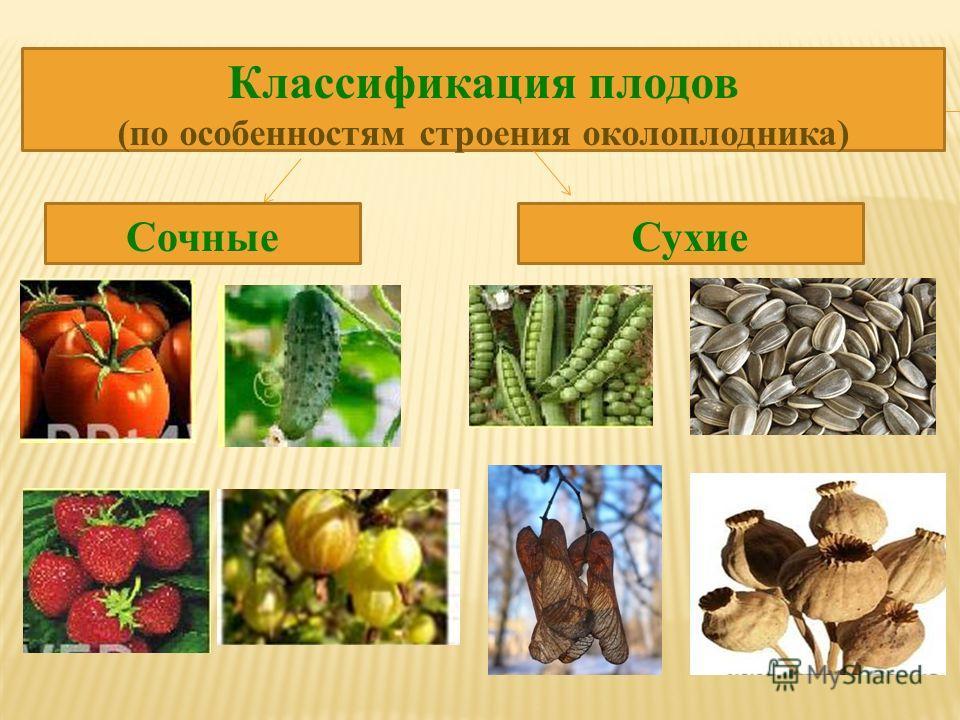 Классификация плодов (по особенностям строения околоплодника) Сочные Сухие