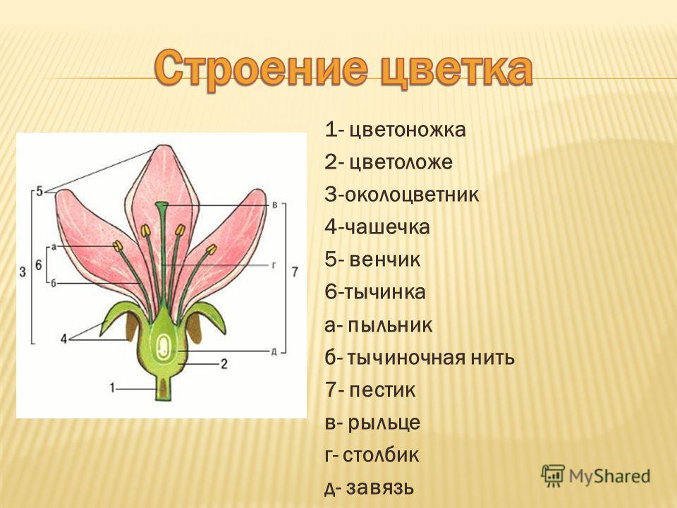 1- цветоножка 2- цветоложе 3-околоцветник 4-чашечка 5- венчик 6-тычинка а- пыльник б- тычиночная нить 7- пестик в- рыльце г- столбик д- завязь