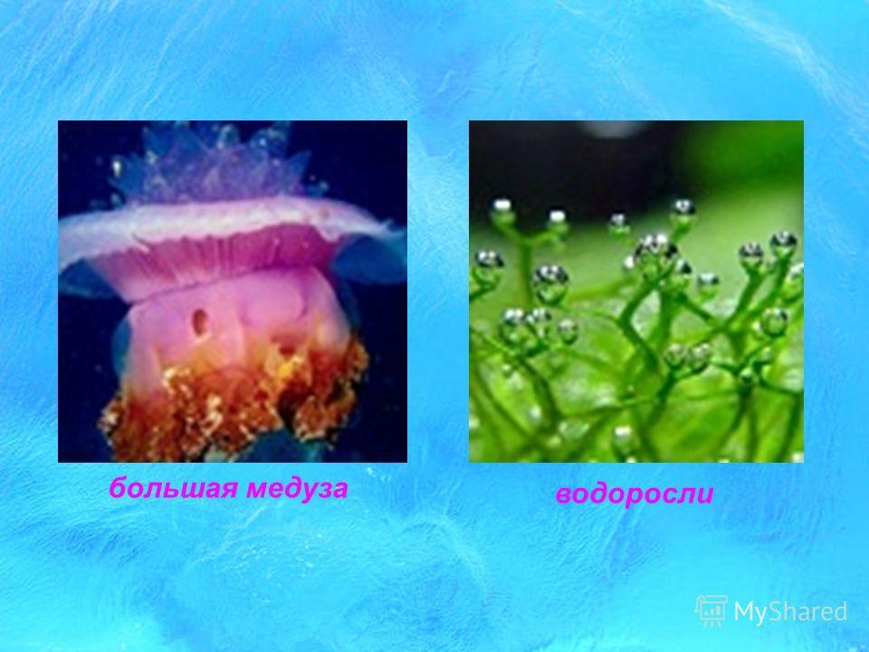 рачок голубой медуза