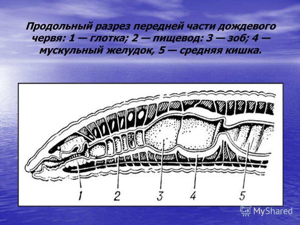 Продольный разрез передней части дождевого червя: 1 глотка; 2 пищевод: 3 зоб; 4 мускульный желудок, 5 средняя кишка.