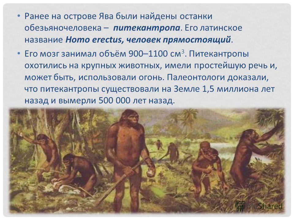 Ранее на острове Ява были найдены останки обезьяночеловека – питекантропа. Его латинское название Homo erectus, человек прямостоящий. Его мозг занимал объём 900–1100 см 3. Питекантропы охотились на крупных животных, имели простейшую речь и, может быт