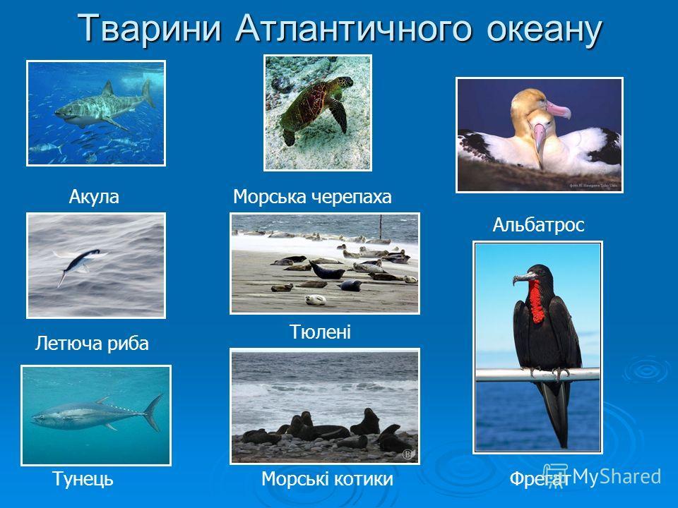 Тварини Атлантичного океану Акула Летюча рыба Тунець Морська черепаха Тюлені Морські котики Альбатрос Фрегат