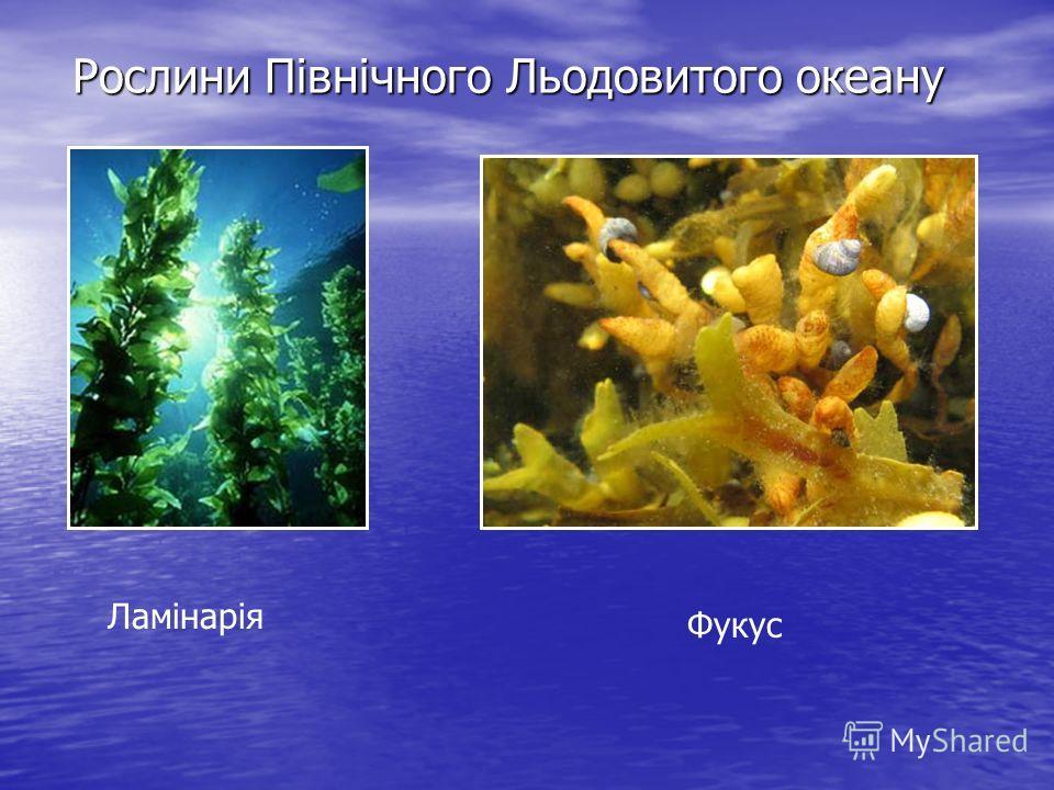 Рослини Північного Льодовитого океану Ламінарія Фукус