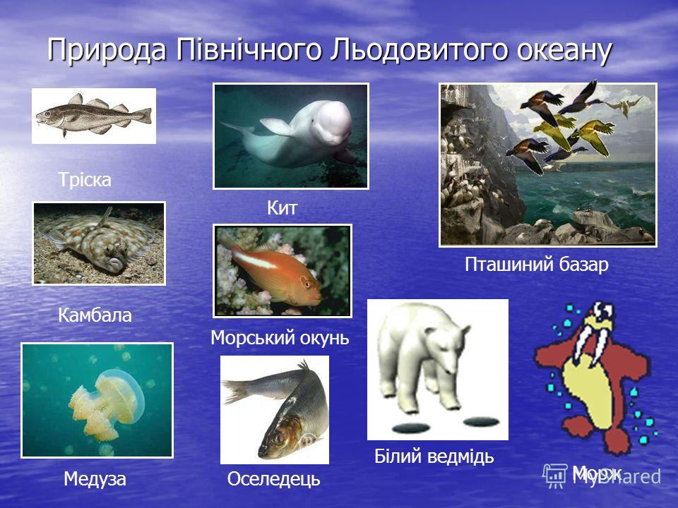 Природа Північного Льодовитого океану Тріска Камбала Медуза Кит Морський окунь Оселедець Пташиний базар Білий ведмідь Морж