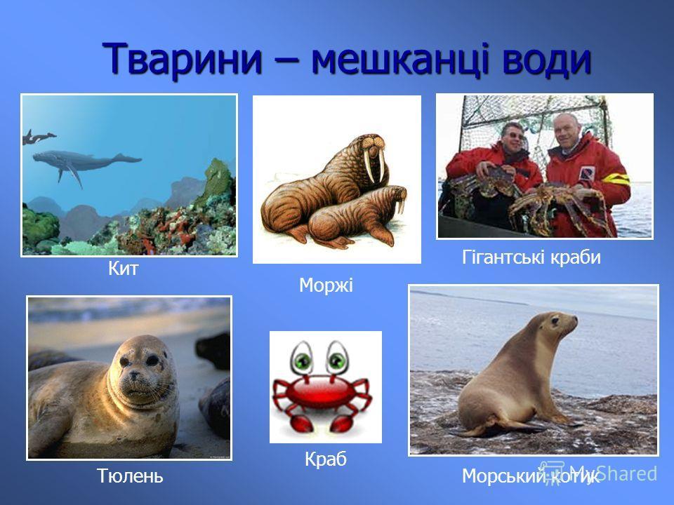 Тварини – мешканці води Кит Гігантські крабы Тюлень Моржі Морський котик Краб