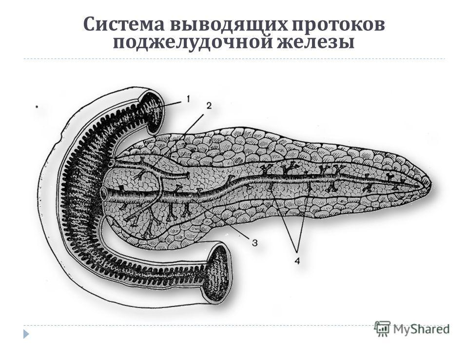 Система выводящих протоков поджелудочной железы