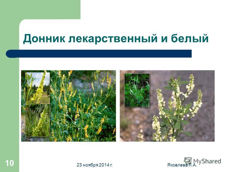 23 ноября 2014 г.Яковлева Л.А. 9 Дикорастущие растения семейства. Горошек мышиный