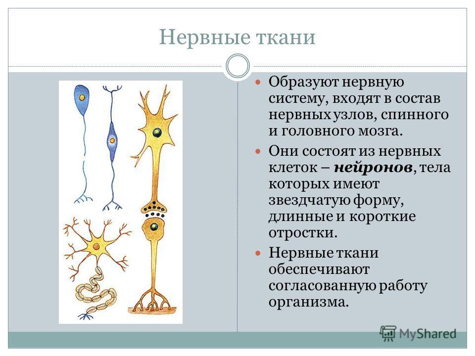 Нервные ткани Образуют нервную систему, входят в состав нервных узлов, спинного и головного мозга. Они состоят из нервных клеток – нейронов, тела которых имеют звездчатую форму, длинные и короткие отростки. Нервные ткани обеспечивают согласованную ра