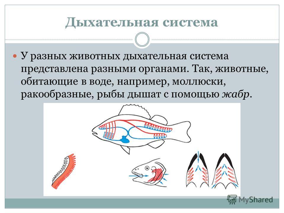 Дыхательная система У разных животных дыхательная система представлена разными органами. Так, животные, обитающие в воде, например, моллюски, ракообразные, рыбы дышат с помощью жабр.