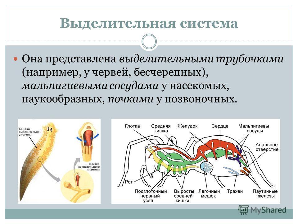 Выделительная система Она представлена выделительными трубочками (например, у червей, бесчерепных), мальпигиевыми сосудами у насекомых, паукообразных, почками у позвоночных.