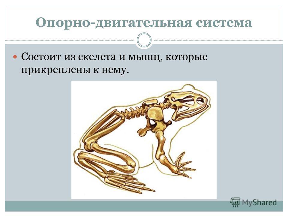 Опорно-двигательная система Состоит из скелета и мышц, которые прикреплены к нему.