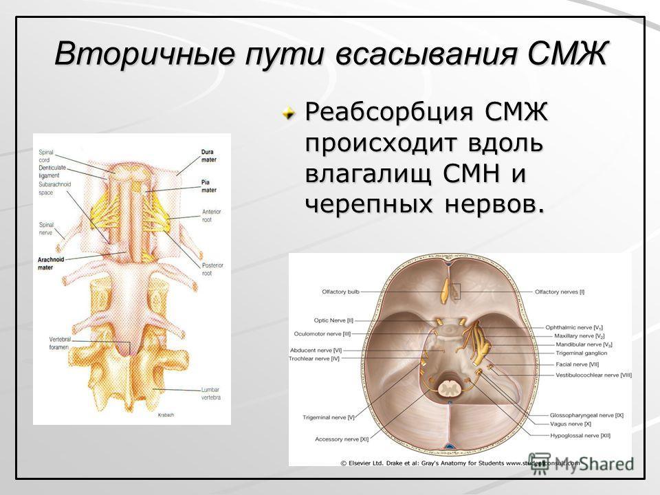 Вторичные пути всасывания СМЖ Реабсорбция СМЖ происходит вдоль влагалищ СМН и черепных нервов.