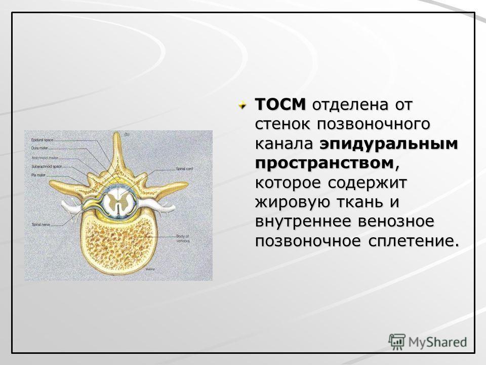 ТОСМ отделена от стенок позвоночного канала эпидуральным пространством, которое содержит жировую ткань и внутреннее венозное позвоночное сплетение.