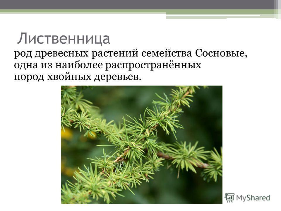 Лиственница род древесных растений семейства Сосновые, одна из наиболее распространённых пород хвойных деревьев.