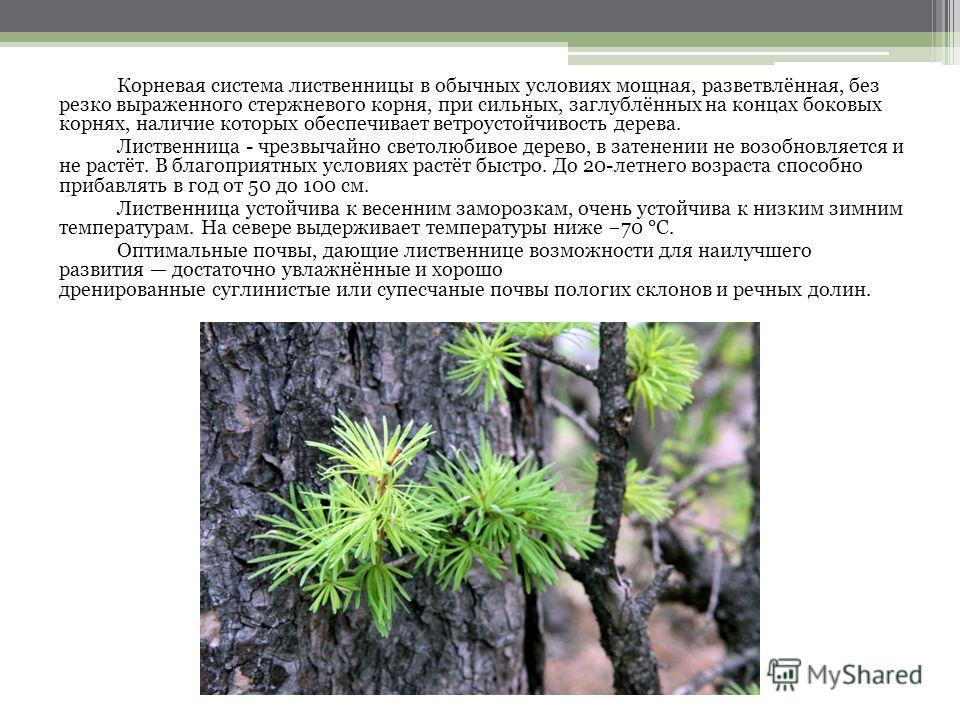 Корневая система лиственницы в обычных условиях мощная, разветвлённая, без резко выраженного стержневого корня, при сильных, заглублённых на концах боковых корнях, наличие которых обеспечивает ветроустойчивость дерева. Лиственница - чрезвычайно свето