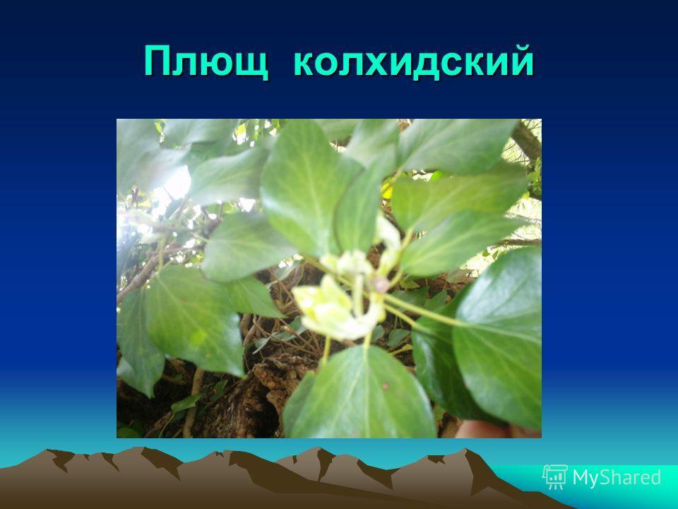 Плющ колхидский